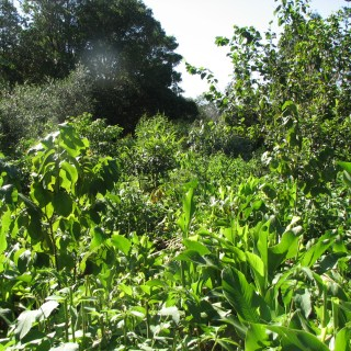 chop and drop food forest