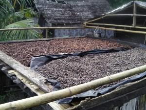 Drying cacao beans in Vanuatu
