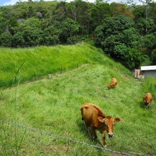 Cows at Maungaraeeda, home of PRI Sunshine Coast