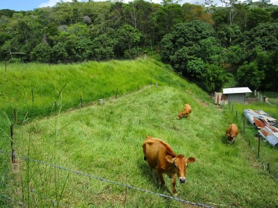 Cows in the paddock at the Permaculture Research Institute Sunshine Coast