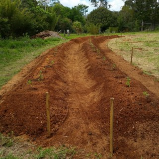 Two polyculture ginger beds at Maungaraeeda