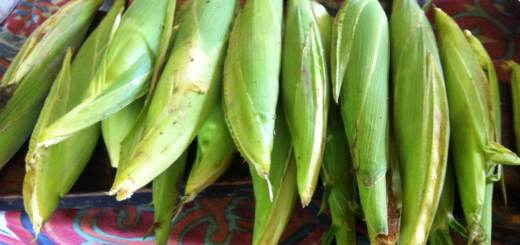 Corn was harvested at our permaculture farm
