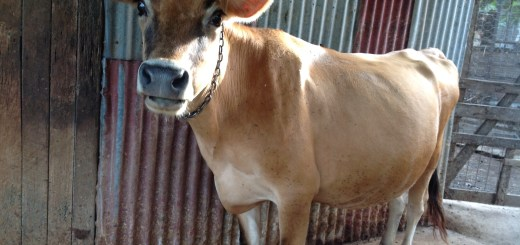 Anna our milking cow smiles for the camera, permaculture Sunshine Coast