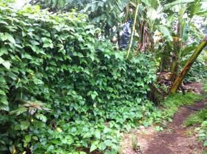 Madagascar bean bush at Maungaraeeda