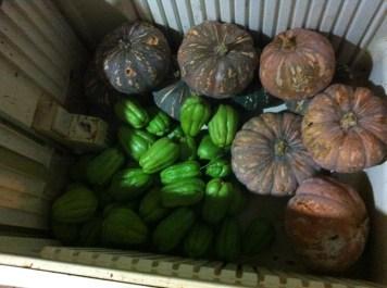 Fesh chokos, older pumpkins