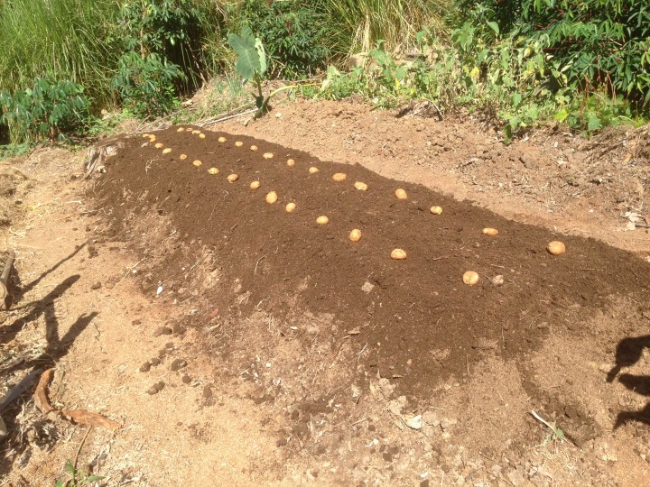 Tom Kendall plants potatoes at Maungaraeeda.