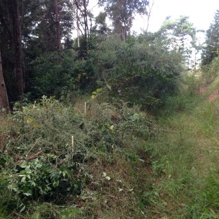 Tom Kendall manages his timber forest on his permaculture swale at Maungaraeeda.