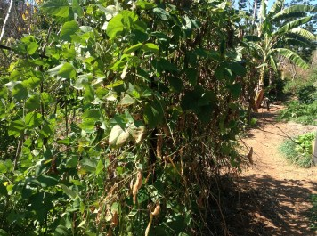 Abundant madagascar bean bush in the permaculture garden at Maungaraeeda, diy food and health