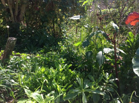 Moroccan spinach, chinese greens, hibiscus and more in the permaculture garden, diy food and health