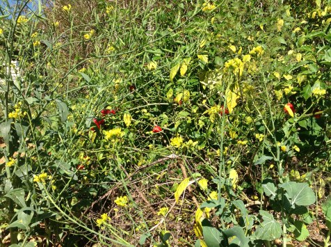 Chillies and flowering chinese greens in the permaculture garden at Maungaraeeda, diy food and health