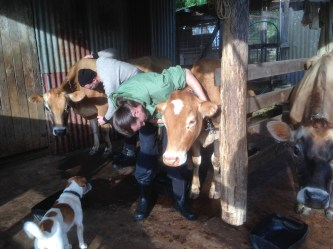 Cow ticking during the PDC course