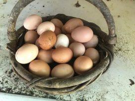 Full basket of eggs!