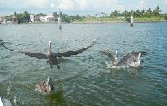 boat trip pelicans