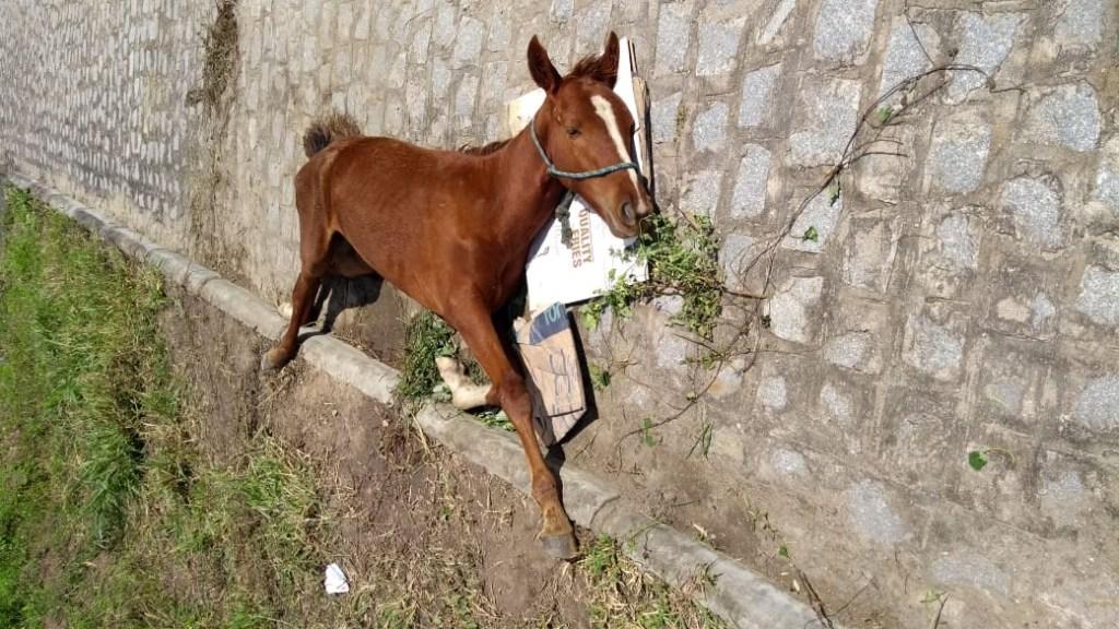 GRAVE: Potro encontrado ferido na zona rural de Gravatá está com coxo-femoral fraturado