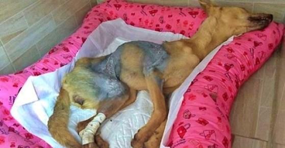 Cruel: Não resiste e morre cadela queimada com soda cáustica em Belo Jardim (PE)