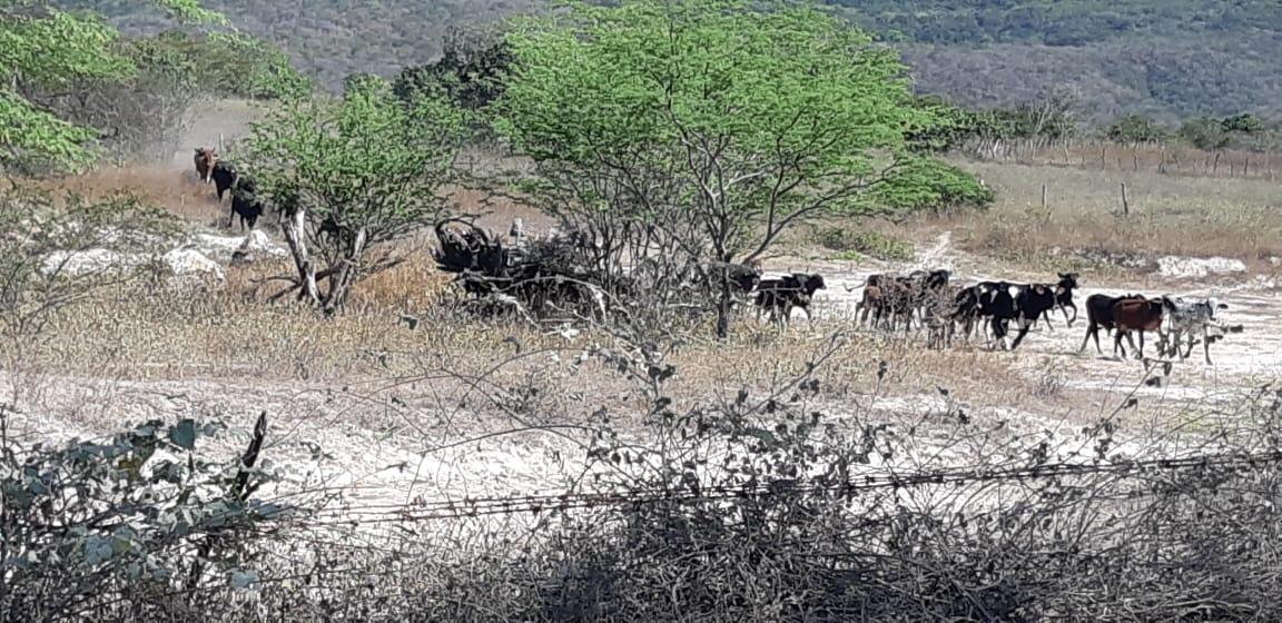 MPF obtém decisão que determina apreensão de gado clandestino na terra Pankararu