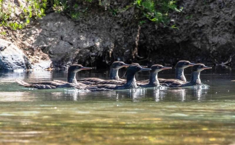 Espécie ameaçada de extinção, pato-mergulhão se reproduz na Chapada dos Veadeiros