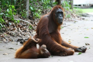 Orangutany straciły 80% habitatu w ciągu ostatnich 20 lat. (Fot. Justyna Rybak)