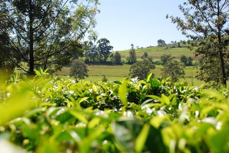 To w Kenii rośnie najwspanialsza kawa na świecie i równie pyszna, aromatyczna herbata. (Fot. Edyta Kijewska)