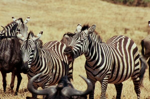 Oko w oko z zebrą - bezcenne. (Fot. Marcin Kruczyk)
