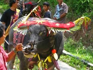 W trakcie ceremonii pogrzebowej w Indonezji zabija się bawoły