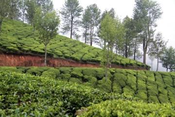 Zakaz wchodzenia na plantacje herbaty