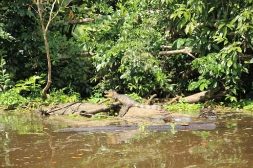 Kajman z Tortugero, Kostaryka