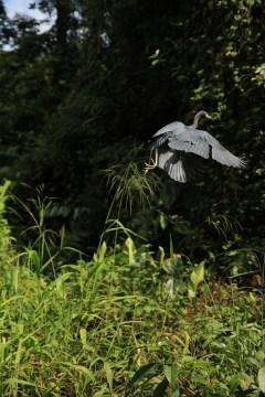 Odlatujący ptak w Tortugero, Kostaryka.