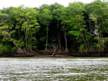 Las manglarowy w trakcie odpływu