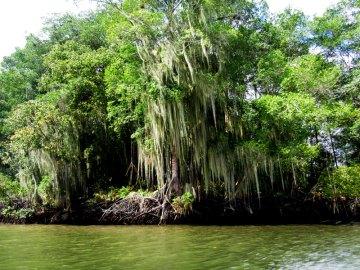 Las manglarowy