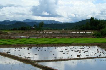 Pola ryżowe w Luang Nam Tha
