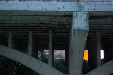 Miejska kolonia nietoperzy w Austin
