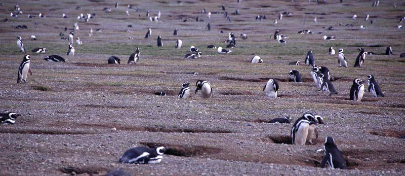 Pingwiny z chilijskiej wyspy Isla Magdalena