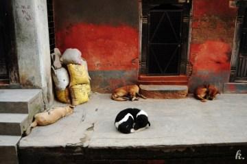 Psy w Nepalu - foto