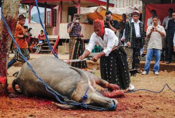 Martwy bawół - podróż do Indonezji - foto