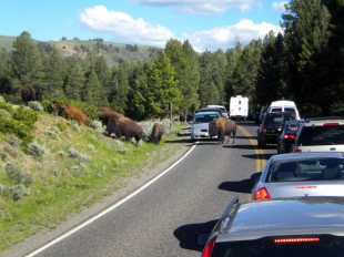 Bizony na drodze - podróż do Yellowstone