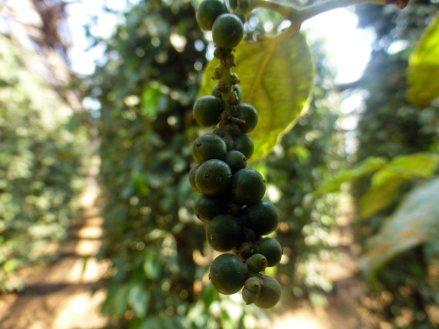 Pieprz rośnie na drzewach - Kambodża