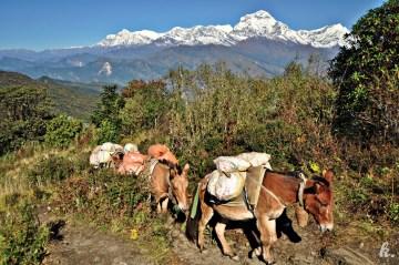 Muły transportujące towary w Himalajach - podróż do Nepalu
