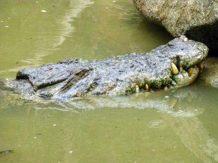 Krokodyl w australijskim rezerwacie przyrody