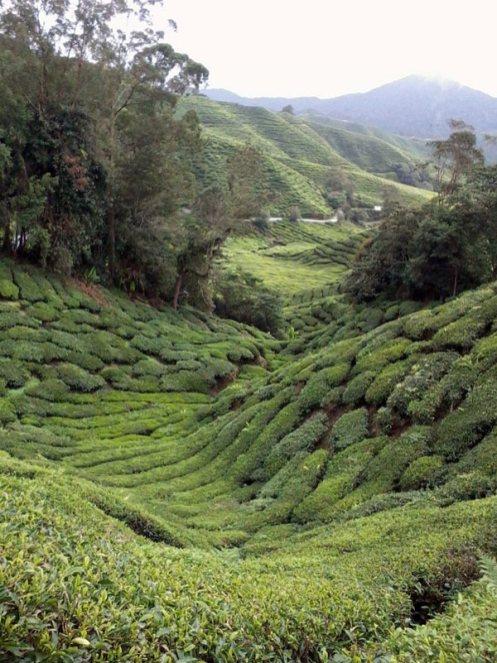 Planatacje herbaty w Malezji