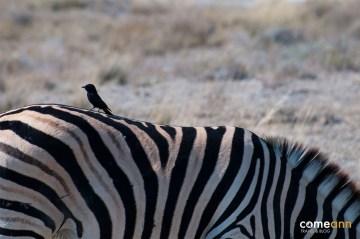 Zebra i mały ptaszek - zdjęcia z Namibii
