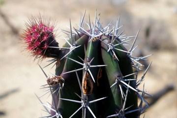 Kwiaty kaktusa są jadalne - foto