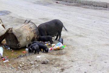 Czarne świnie na ulicaach chińskich miast
