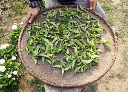 Herbata przed suszeniem, plantacje w Nepalu