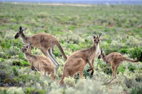 Zachodnia Australia, dzikie kangury spotkane w trakcie podróży