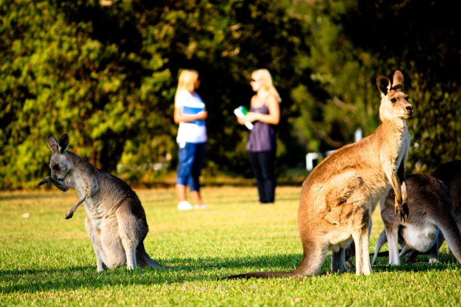 Kangury na australijskiej uczelni