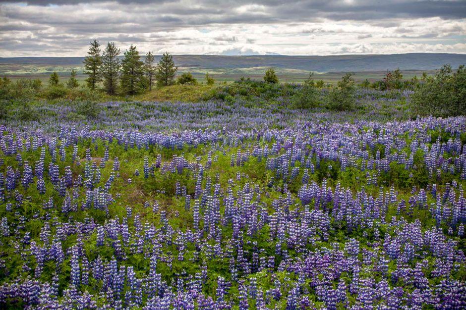 Przyroda Islandii, łubin arktyczny, zdjęcia