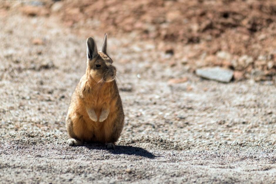 Boliwia, zwierzęta, Salar de Uyuni, królik