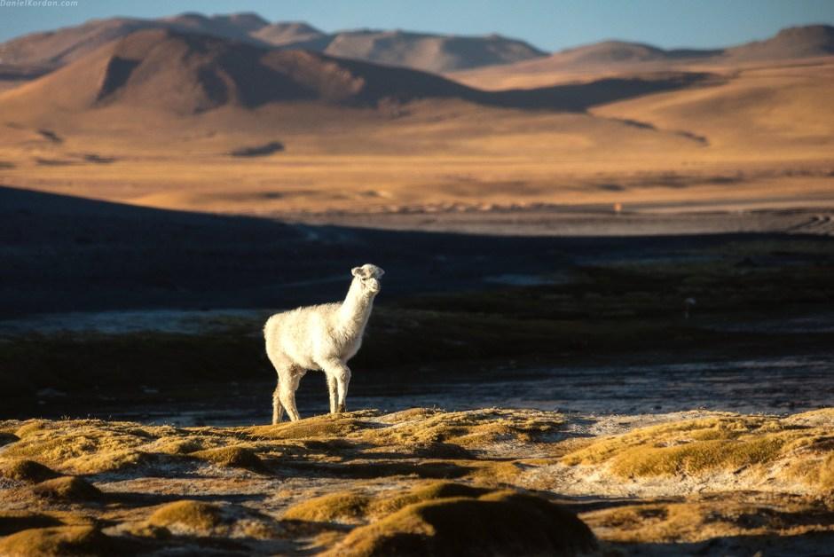 Boliwia, zwierzeta, lama