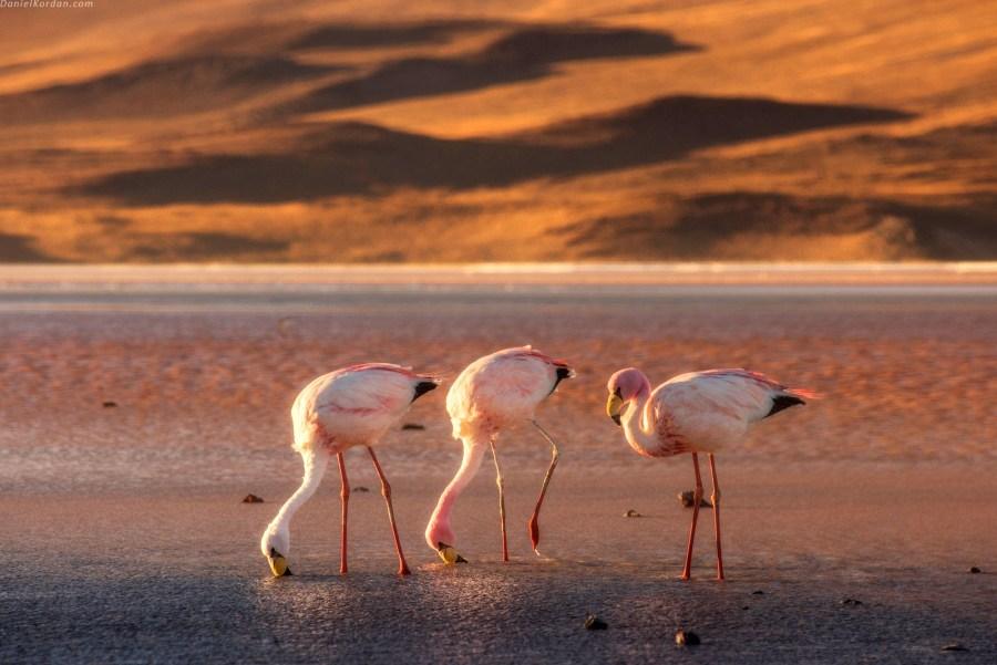 Flamingi, Salar de Uyuni, ptaki, foto, zdjecia